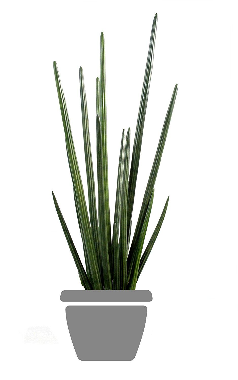 plante intrieur ombre vigne vierge et bignone luautomne. Black Bedroom Furniture Sets. Home Design Ideas